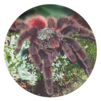 Martinique Tree Spider, Avicularia versicolor, Party Plate