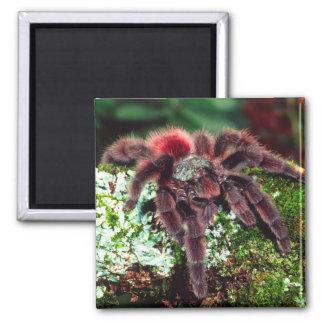 Martinique Tree Spider, Avicularia versicolor, Square Magnet