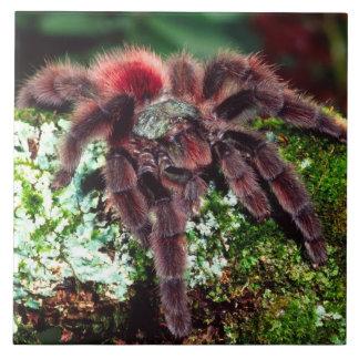 Martinique Tree Spider, Avicularia versicolor, Tile