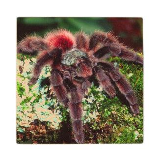 Martinique Tree Spider, Avicularia versicolor, Wood Coaster