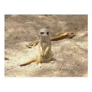 Marvelous Meerkat Postcard