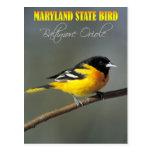 Maryland State Bird - Baltimore Oriole Postcard