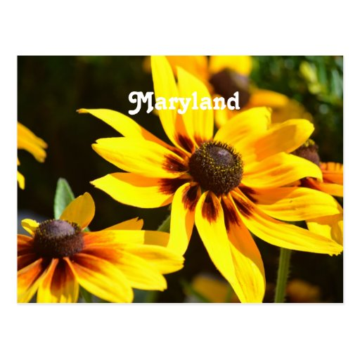 Maryland State Flower Post Card