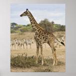 Masai Giraffe and Common Zebra at Amboseli NP, Posters
