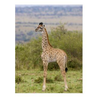 Masai Giraffe (Giraffa camelopardalis 2 Postcard