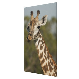 Masai Giraffe, Giraffa camelopardalis Stretched Canvas Print