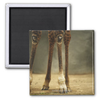 Masai giraffe, low angle view of legs, Giraffa Square Magnet