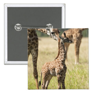 Masai giraffes, Giraffa camelopardalis 2 15 Cm Square Badge