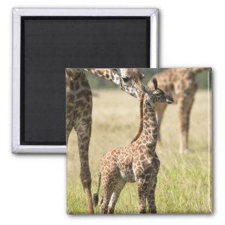 Masai giraffes, Giraffa camelopardalis 2 Magnet