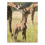 Masai giraffes, Giraffa camelopardalis 2 Postcard