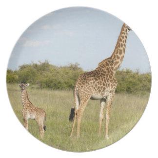 Masai giraffes, Giraffa camelopardalis 3 Plate