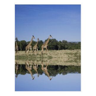 Masai Giraffes, Giraffa camelopardalis, Masai Postcard