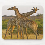 Masai Giraffes Kenya Africa mousepad