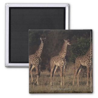 Masai Mara National Reserve 3 Square Magnet