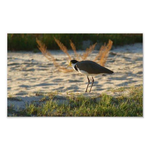 Masked Plover Photo Art