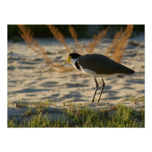 Masked Plover Posters