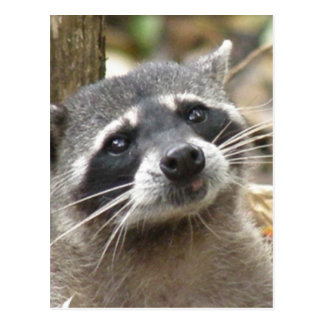 Masked Raccoon Postcard