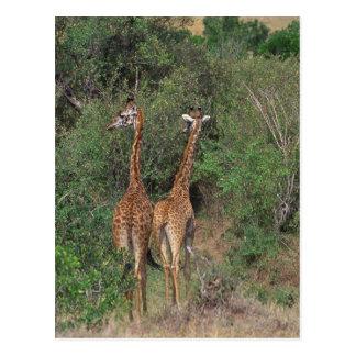 Massai Giraffe 3 Postcards