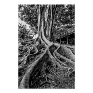 Massive rubber tree roots poster