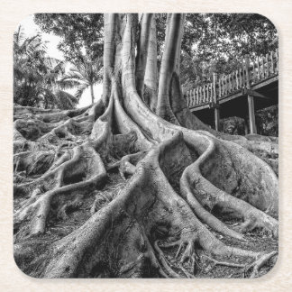 Massive rubber tree roots square paper coaster