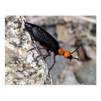 Master Blister Beetle Postcard