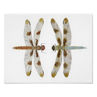 Mated Pair of 12 Spotted Skimmer Dragonflies Poster