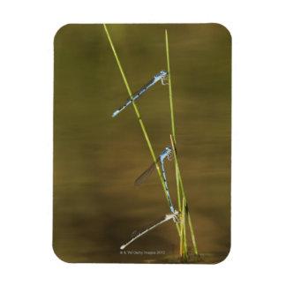 Mating Damselflies Rectangular Photo Magnet