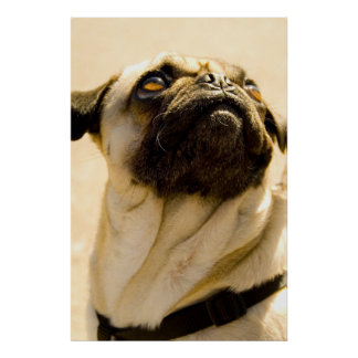 Max the Pug Poster