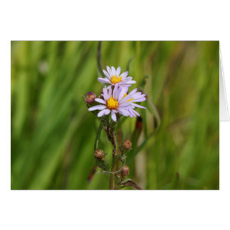 Meadow Aster Greeting Card