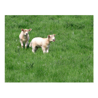 Meadow Lambs Postcard