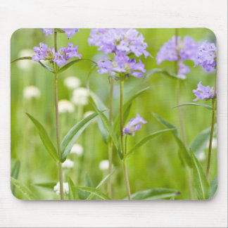 Meadow of penstemon wildflowers in the mouse mat