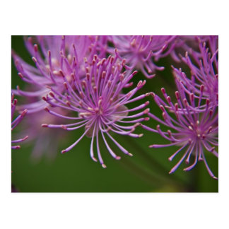 Meadow Rue Postcard