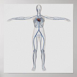 Medical Illustration: Female Circulatory System 1 Poster