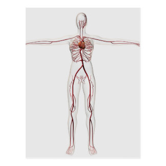 Medical Illustration: Female Circulatory System 3 Postcard
