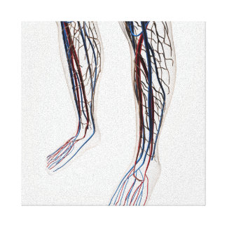 Medical Illustration Of Arteries 3 Canvas Print
