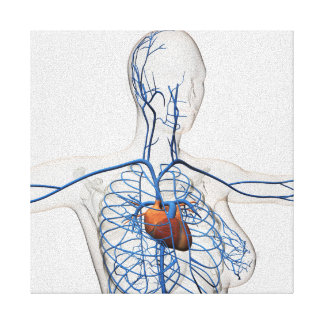 Medical Illustration Of Circulatory System Canvas Print