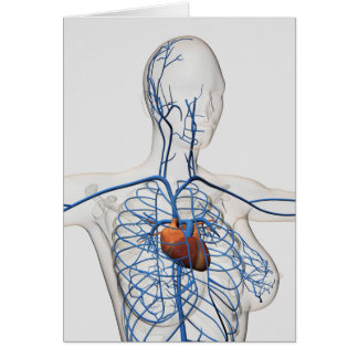 Medical Illustration Of Circulatory System Card