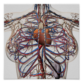Medical Illustration Of Female Breast Arteries Poster