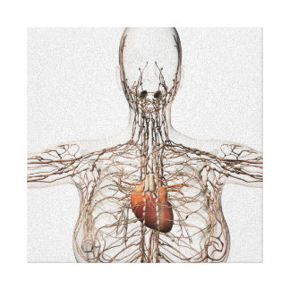 Medical Illustration Of Female Lymphatic System Canvas Print