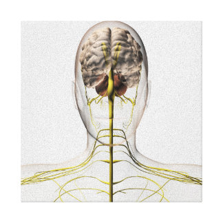 Medical Illustration Of Human Nervous System 2 Canvas Print