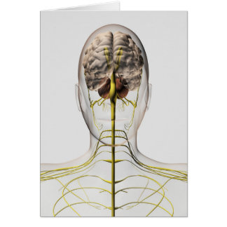 Medical Illustration Of Human Nervous System 2 Card