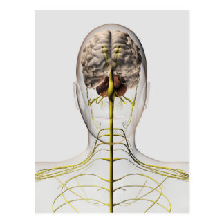 Medical Illustration Of Human Nervous System 2 Postcard