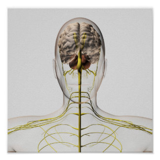 Medical Illustration Of Human Nervous System 2 Poster