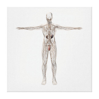 Medical Illustration Of Male Lymphatic System Canvas Print