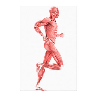Medical Illustration Of Male Muscles Running 2 Canvas Print