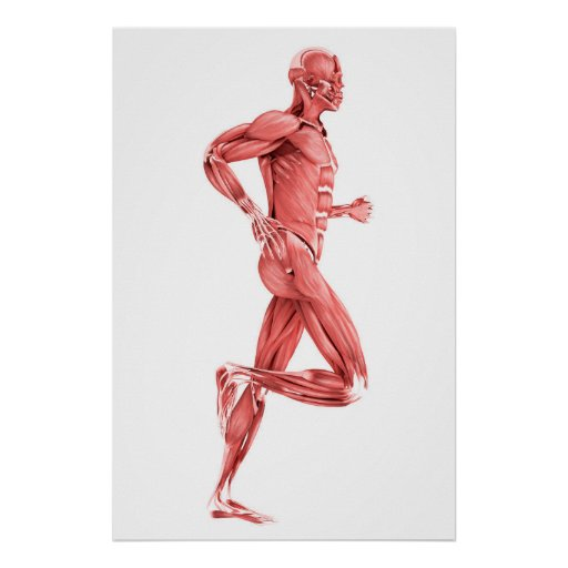 Medical Illustration Of Male Muscles Running 2 Poster