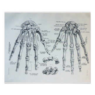 Medical Illustration of the bones of the hand Poster