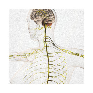 Medical Illustration Of The Human Nervous System Canvas Print