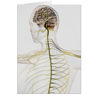Medical Illustration Of The Human Nervous System Card