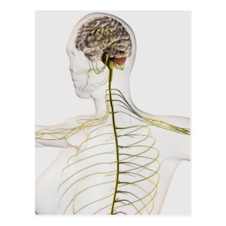 Medical Illustration Of The Human Nervous System Postcard